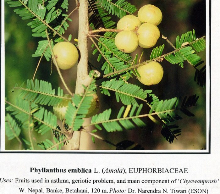 phyllanthus-emblica-foto