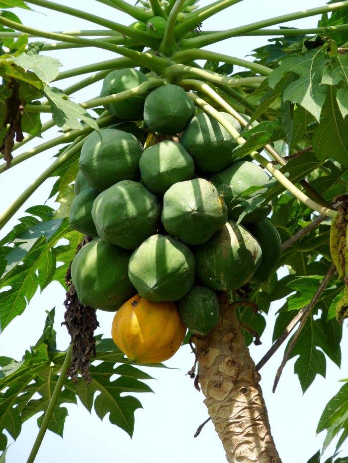 Papayafruechte